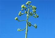 Ritka látványosság a növények kedvelőinek a Karkus Kipufogó szervizben: Agave virágzás!